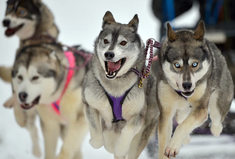 gty dogs sled dm 130123 blog Today in Pictures: Dog Sled Racing, Freezing Temperatures, Celebrations in India