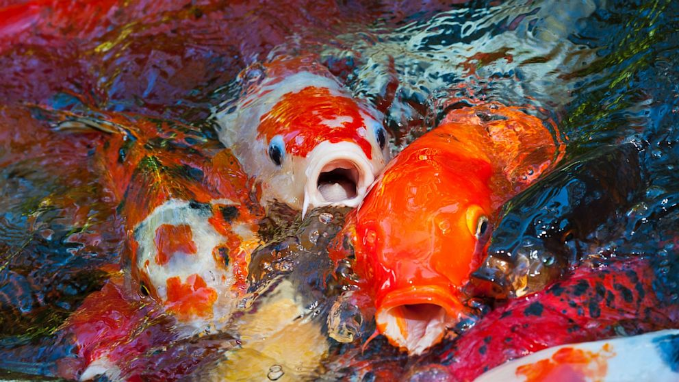 The koi pond artmuse67 for The koi pool