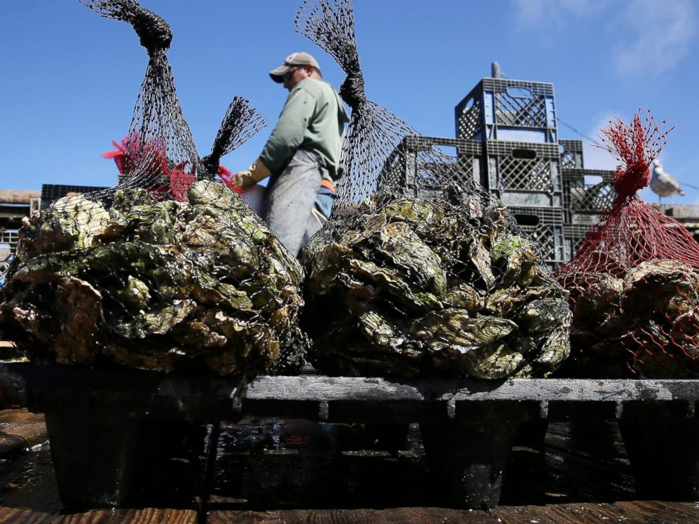PHOTO: A Drakes Bay Oyster Co. worker sorts freshly harvested oysters on September 4, 2013 in Inverness, Calif.