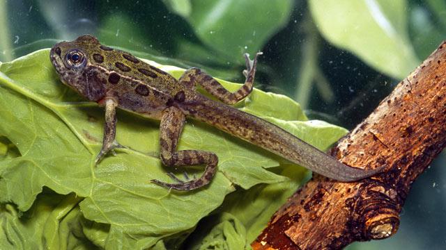 PHOTO: Froglet.