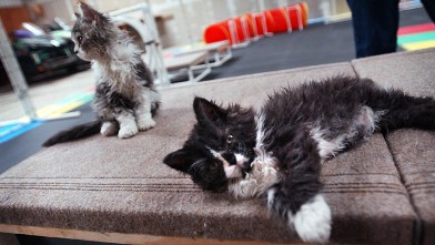 PHOTO: Two Selkirk Rex cats relax after running a cat agility course, in 2004.