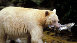 PHOTO Spirit Bears and the Great Bear Rainforest Conservationists hope photo spread will bring attention to pipeline proposal.