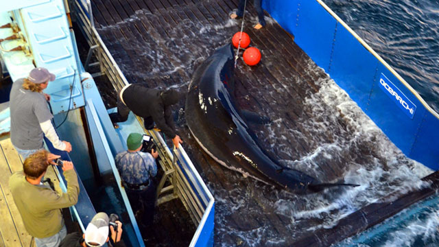 PHOTO: Ocearch is conducting a ground-breaking project that uses GPS-satellite tracking to monitor the navigational patterns of great white sharks. Shown here is founder Chris Fischer sitting on the edge of the capture tank with a 16-foot-long, 3,500 poun