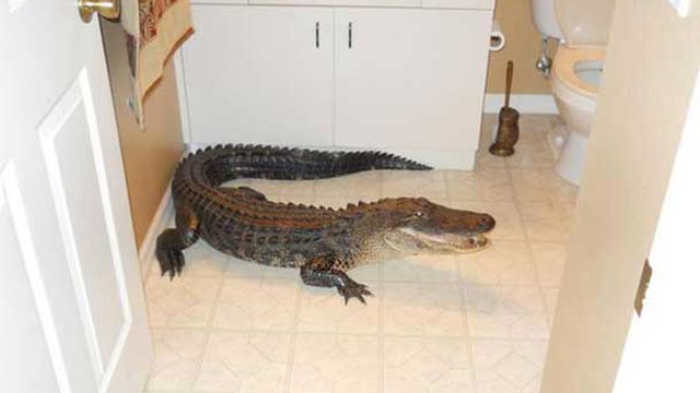 PHOTO:A woman found an unwelcome weekend guest in her bathroom: a 7-foot alligator.