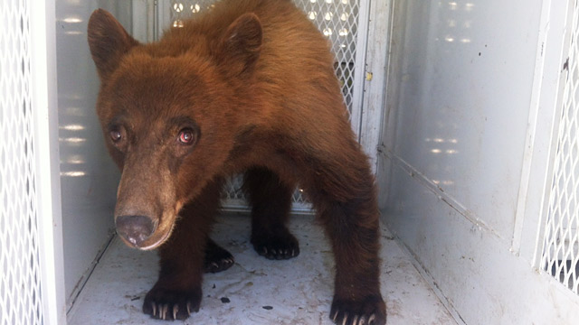 PHOTO: Bear released in California