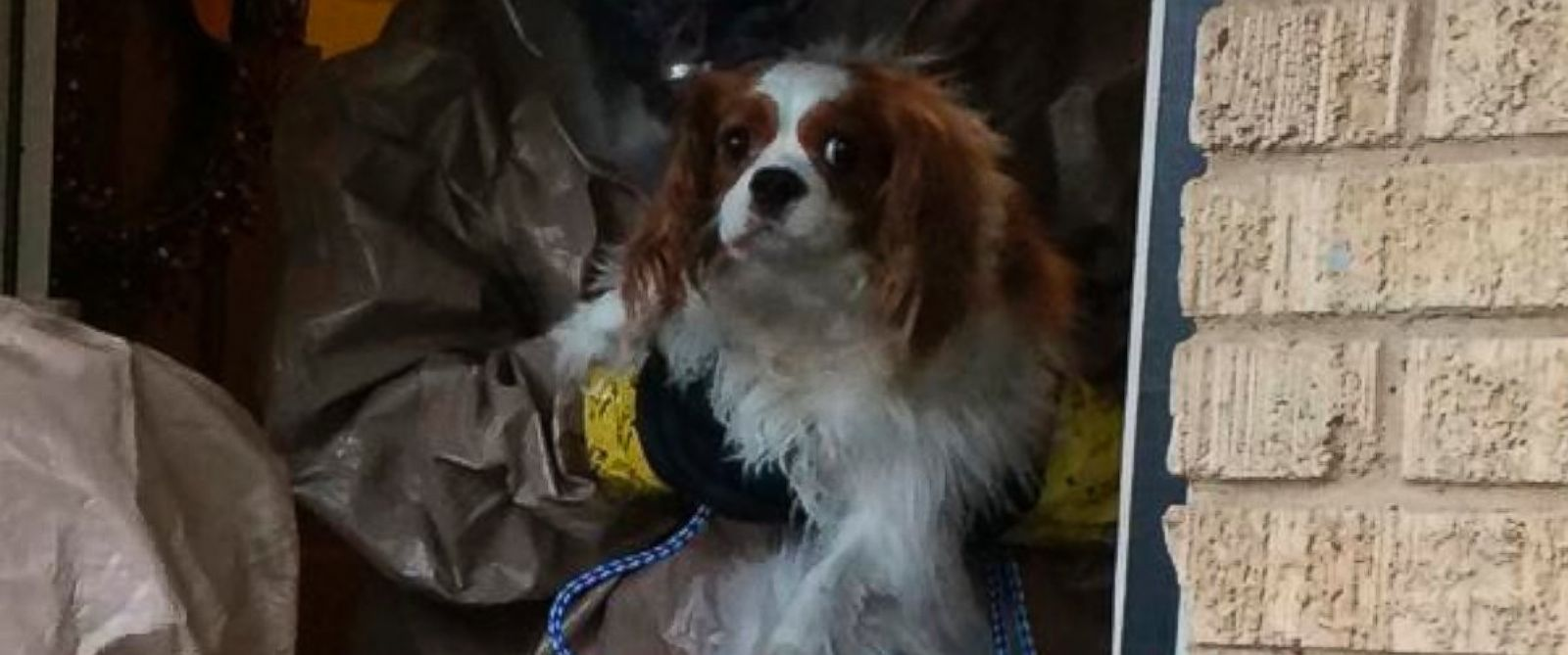 PHOTO: Bentley, the spaniel that belongs to the Texas nurse who is being treated for Ebola, is seen in this photo released by the Dallas Animal Services and Adoption Center on Oct. 14, 2014.
