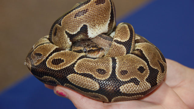 PHOTO:Saturday, the Florida Fish and Wildlife Conservation held Exotic Pet Amnest