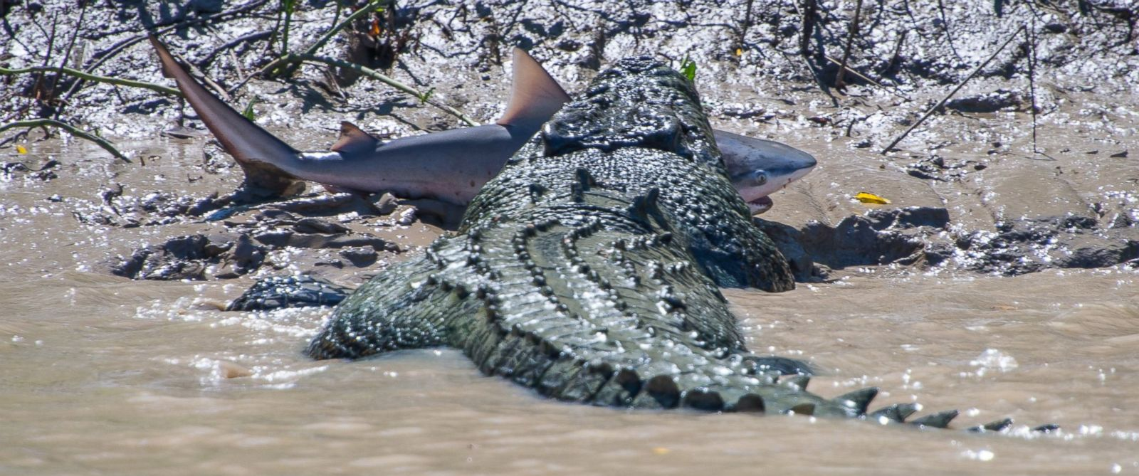 """PHOTO: Andrew Paice of Sydney, Australia photographed a crocodile nicknamed """"Brutus"""" eating a live shark while on Adelaide River cruise on August 5, 2014."""