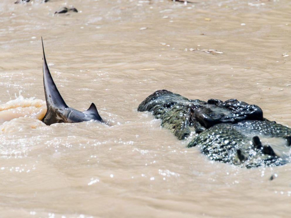 PHOTO: Andrew Paice of Sydney, Australia photographed a crocodile nicknamed Brutus eating a shark while on Adelaide River cruise on August 5, 2014.