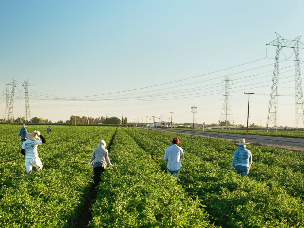 PHOTO: A crew of workers weeds a tomato field in Huron, Calif. on July 1, 2014.