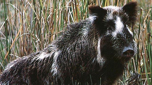 PHOTO:Feral pigs run amok in San Diego