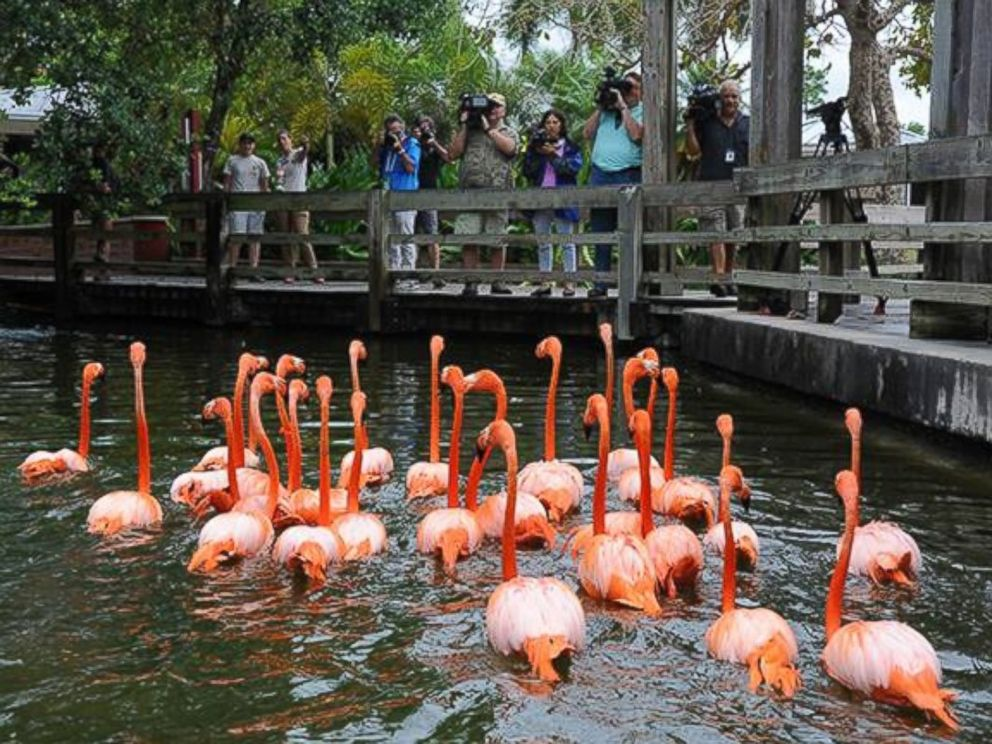 PHOTO: The flamingo exhibit has greeted visitors for 34 years since they entered the front gates, according to Zoo Miami.