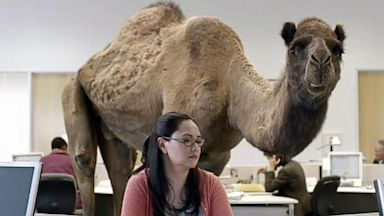 "PHOTO: This Geico commercial features a camel named Caleb wandering around an office asking a simple question – ""What day is it?"" – until he gets the answer he wants, ""It's hump day."""