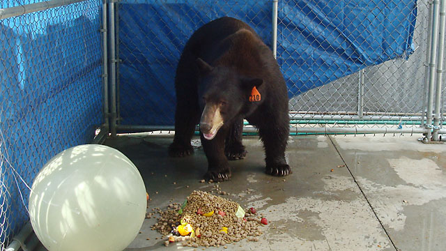 PHOTO: A trap baited with honey and bacon led to the capture of 'Meatball' the bear in Glendale on Wednesday, Aug. 29, 2012. He was transported to a sanctuary in San Diego County.
