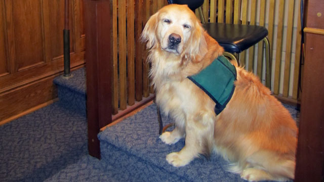 PHOTO:A Golden Retriver named Rose is the first dog to sit on the witness stand in court in New York State.