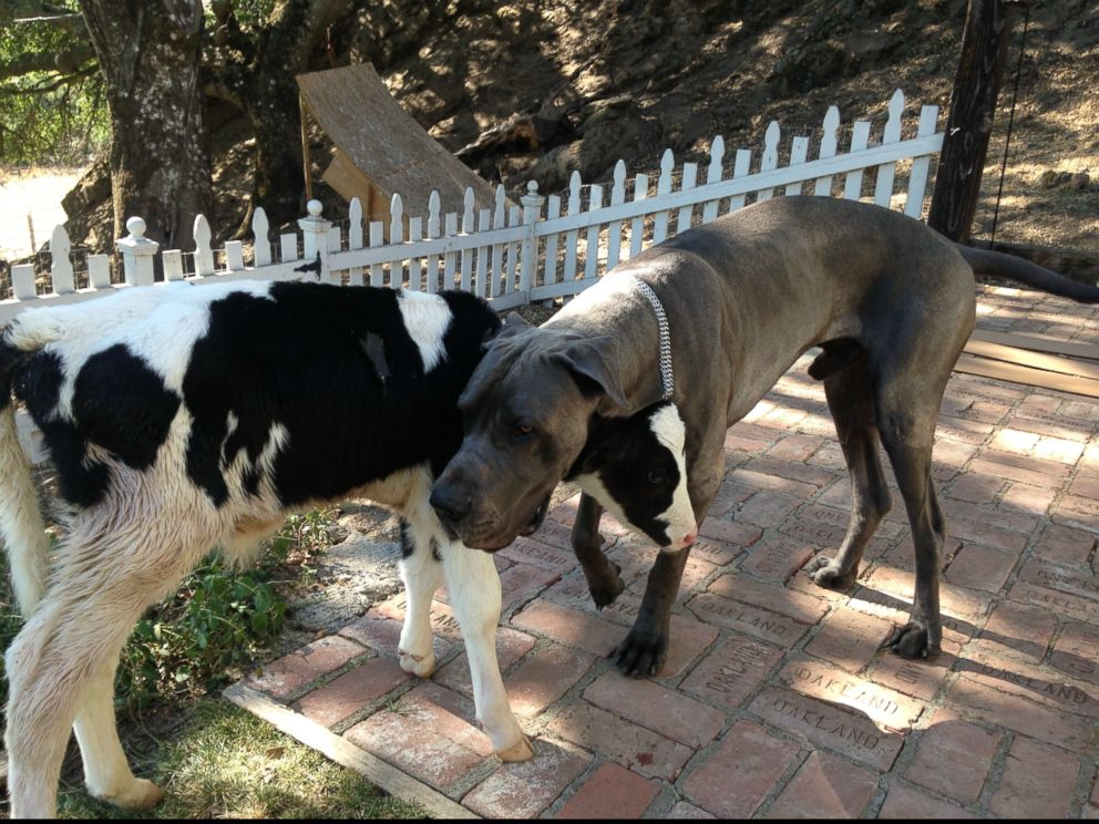 PHOTO: Goliath, a cow who thinks hes a dog, according to his owner Shaylee Hubbs from Danville, Calif., is pictured here next to Hubbs Great Dane named Leonidas.