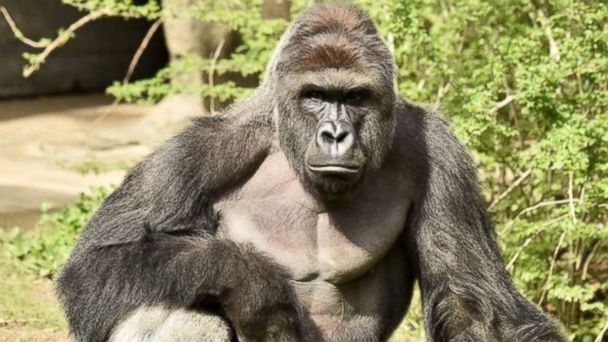 http://a.abcnews.go.com/images/US/ht_gorilla_dc_16_05_29_16x9_608.jpg