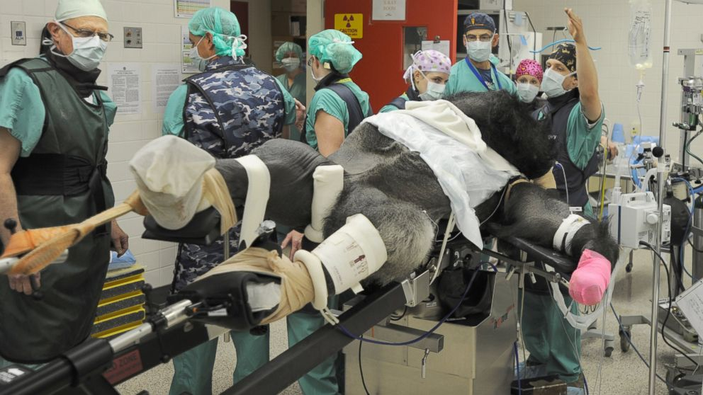 Knoxville Zoo Gorilla Recovering From Surgery for Fractured Femur ...