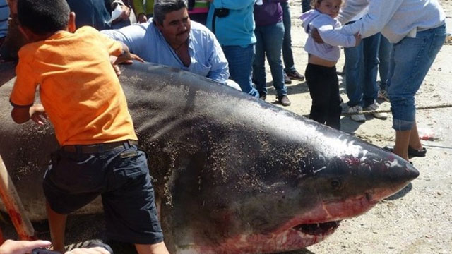 PHOTO: Two commercial fishermen in Mexico hauled up a great white shark measuring nearly 20 feet and weighing about 2,000 pounds, according to local news reports.