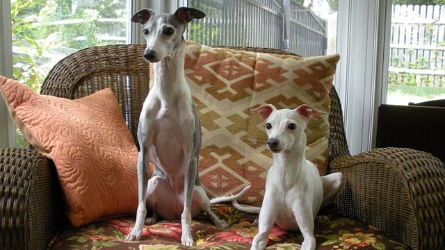 PHOTO: Italian greyhounds Joey and Molly are ready for the 9-5 work day.