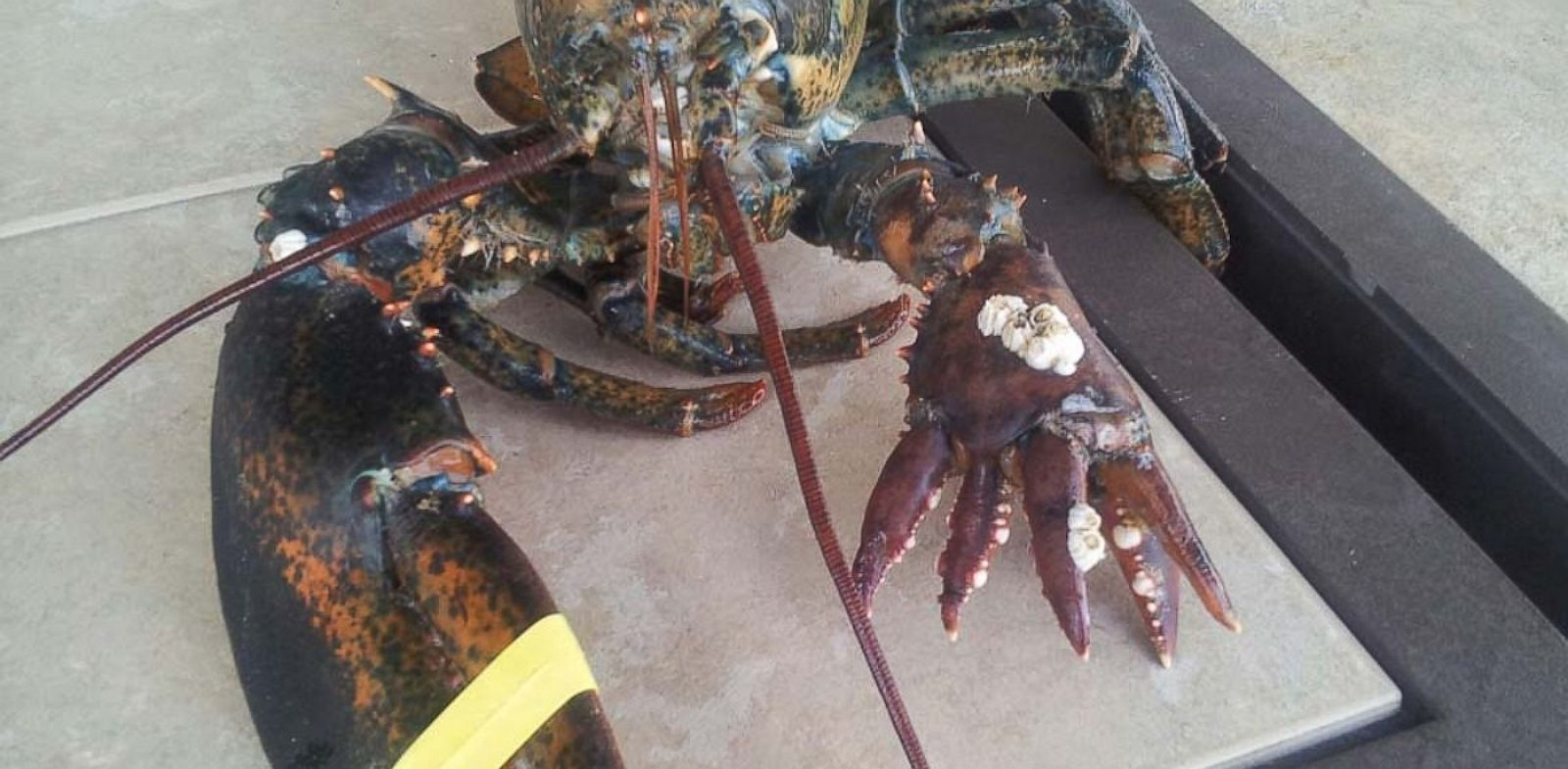 PHOTO: Lola, a six-clawed lobster, made her debut at the Maine State Aquarium in West Boothbay Harbor, Maine, after being donated by lobsterman Richard Figueiredo. The 4-lb. wonder sports a normal right claw, but has five smaller claws on the right.