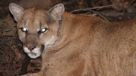 ht mountain lion kb 120717 wblog Wild Animals in Your Backyard: Which Scare You Most?