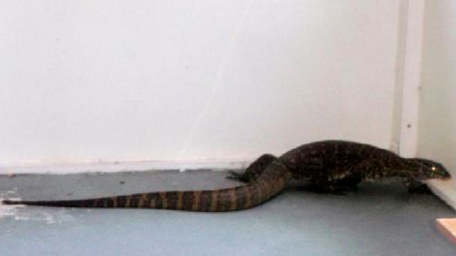 PHOTO: A 5-foot Nile monitor wandered around a persons garage and patio recently.