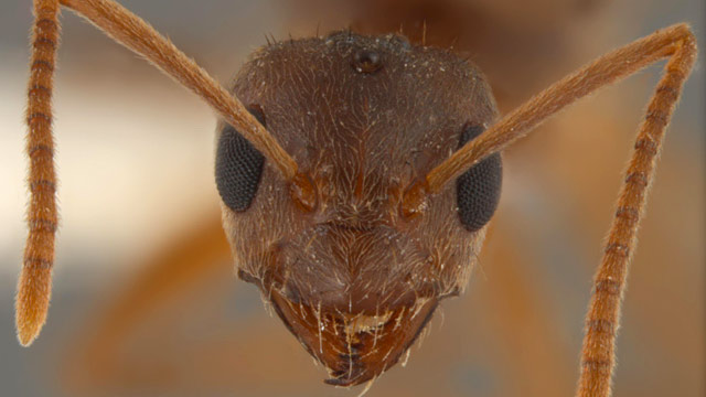 """PHOTO: """"Crazy"""" ants are on the march with a taste for everything from livestock to electrical equipment."""
