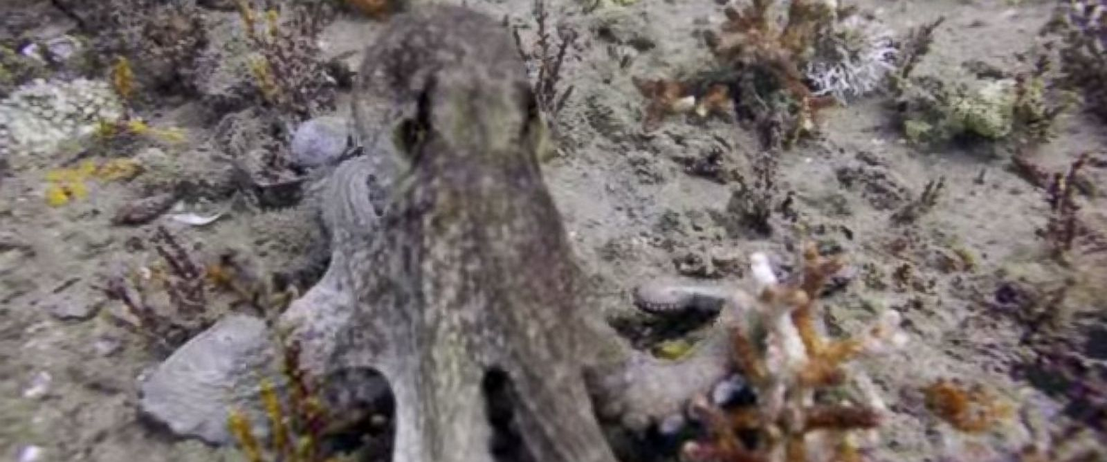 PHOTO: Joe Kistel was filming an artificial reef underwater when he came across a curious octopus.