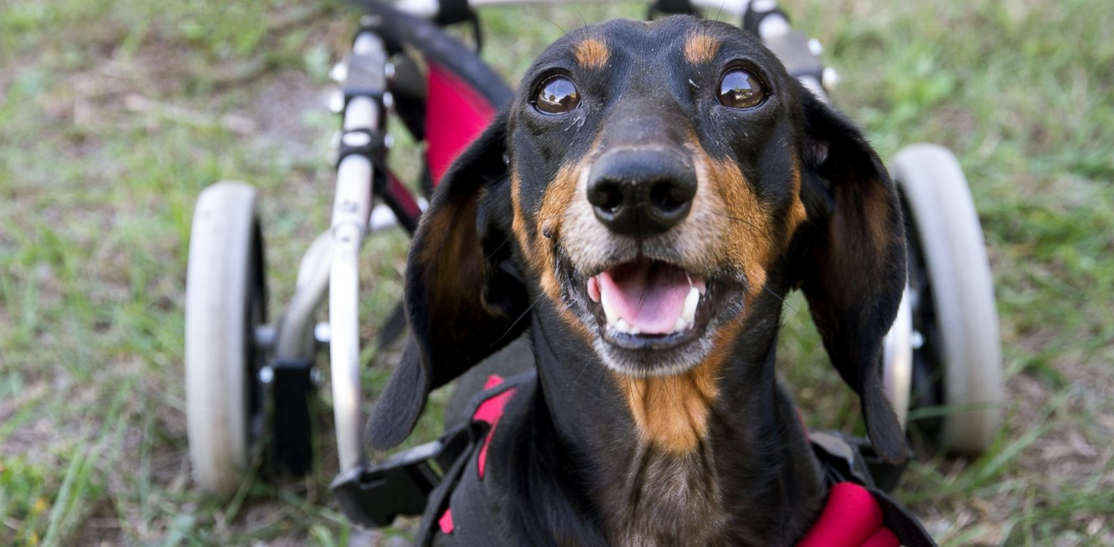 PHOTO: Willie, a partially paralyzed dachshund abandoned by the side of an animal shelter in Tampa, Fla., was adopted by a family on Sunday and is learning to walk using a special wheelchair for dogs.