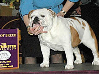 Akc english bulldog shows