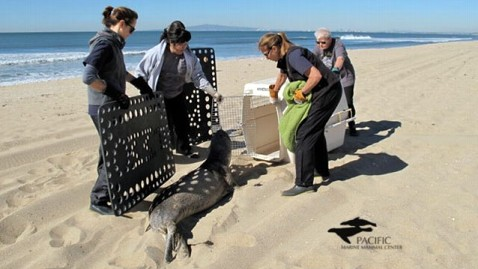 ht rescued sea lion nt 130312 wblog 18 California Sea Lion Pups Rescued in 48 Hours; Marine Mammal Center Declares State of Emergency