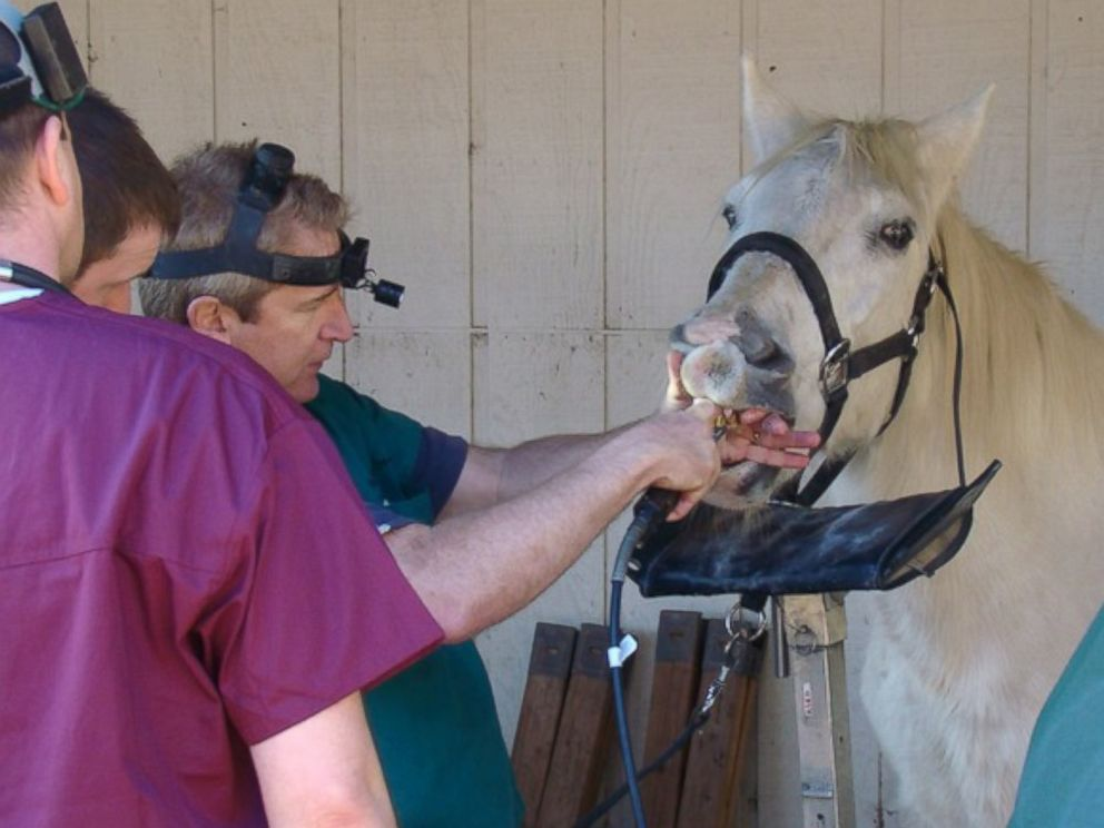 PHOTO: Once a year, the horses are visited by an equine dentist for a teeth cleaning.