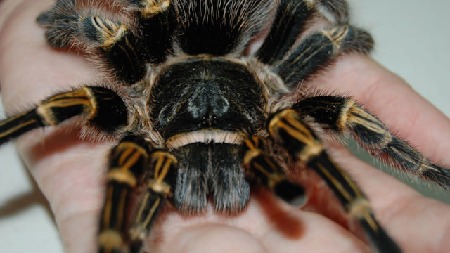 PHOTO:A large adult tarantula like those commonly used by clinical psychologists during exposure therapy for spider phobia is shown.