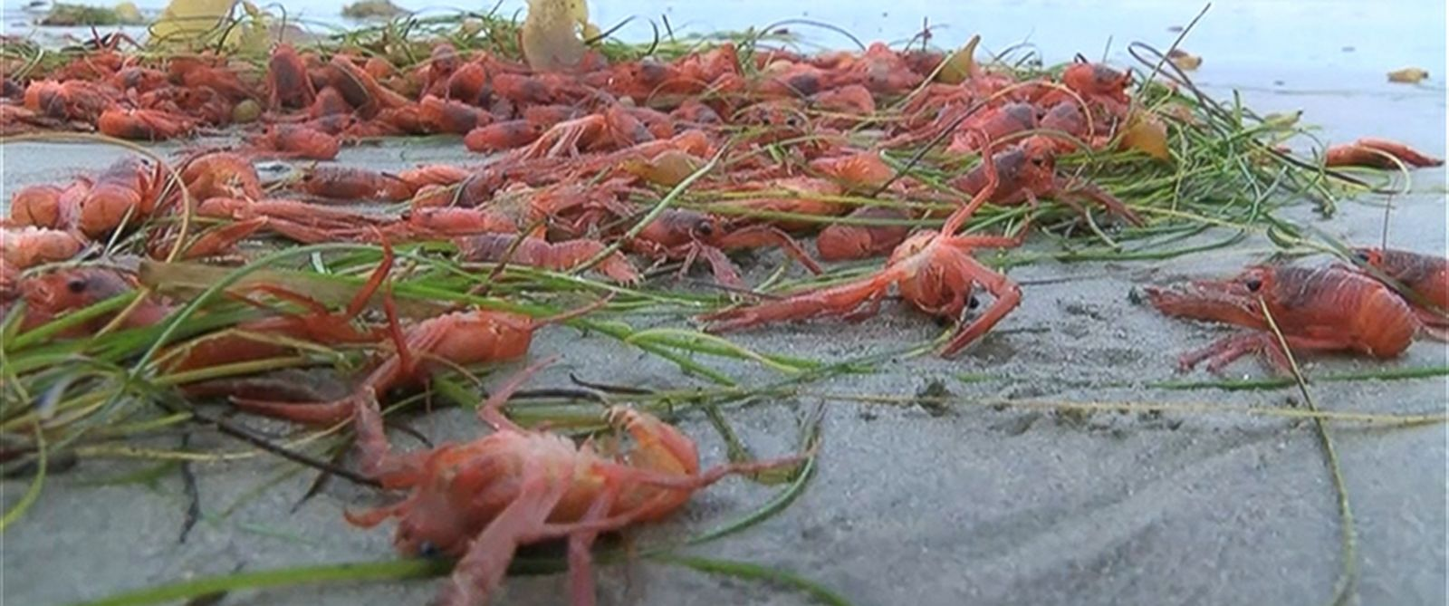 PHOTO: Thousands of tuna crabs washed up on a California beach.