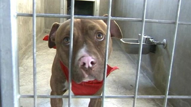 VIDEO: Riverside County ordinance requires all pit bulls more than 4 months old to be spayed or neutered.