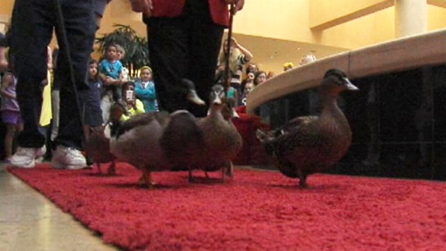 VIDEO: Little Rocks Peabody Hotel is losing its feathered inhabitants with sale to Marriott.