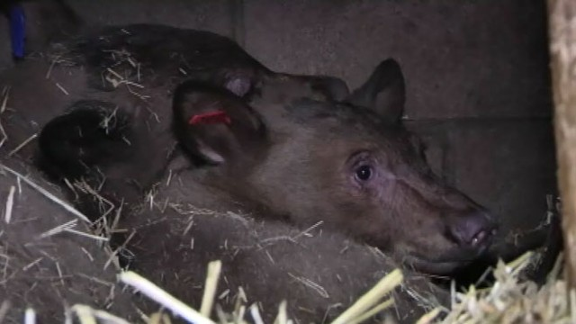 VIDEO: The two cubs were confiscated from a suspected poacher at a California gas station.