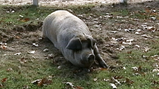 VIDEO: A New Hampshire womans cat burned in a barn fire was found by her pet pig, Miss Colby.
