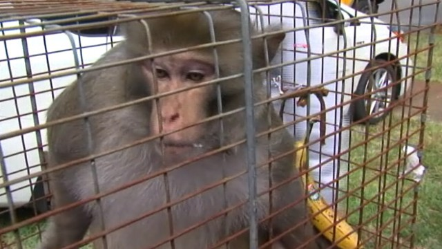 VIDEO: Elusive primate was caught after running wild in Tampa for almost three years.