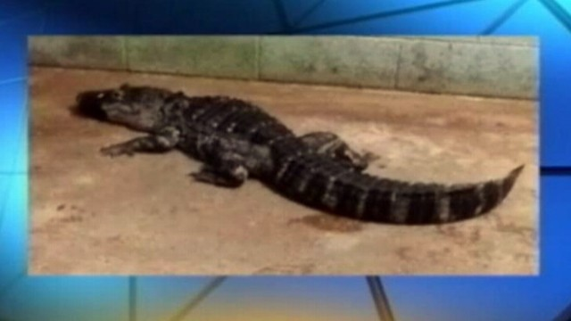 VIDEO: Authorities removed an assortment of reptiles which also included snakes and a crocodile.