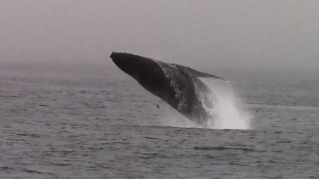 VIDEO: Hundreds of orcas, humpbacks and dolphins show up for a seafood buffet.