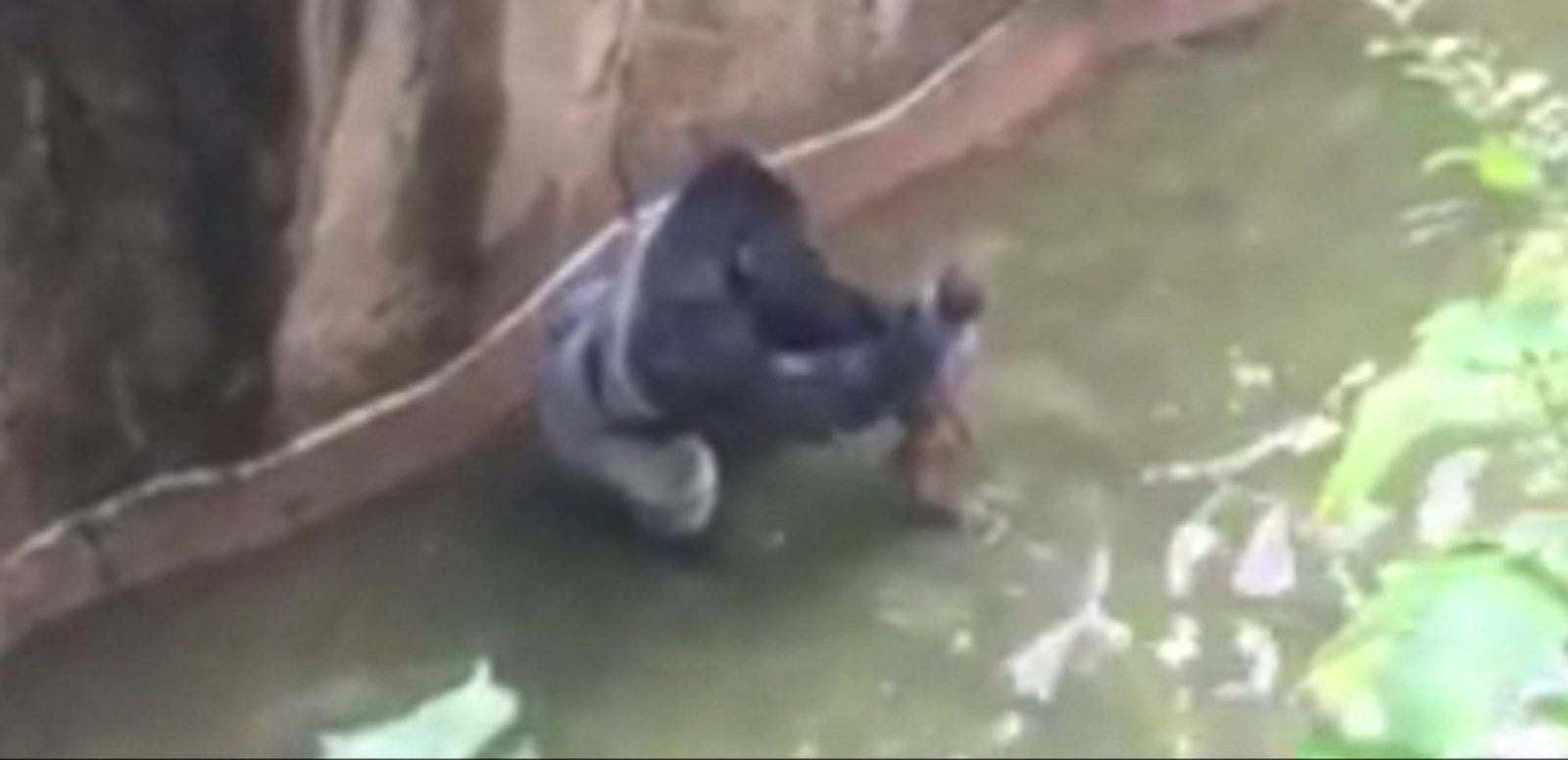 VIDEO: Police Open Criminal Investigation Amid Cincinnati Zoo Gorilla Incident