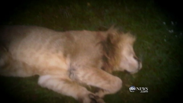 VIDEO: Town on lockdown after suicidal man releases lions, tigers and bears.