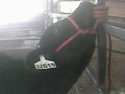 VIDEO: Graphic footage suggests milk cows may be victims of some cruel practices.