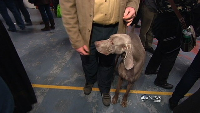 VIDEO: Once neglected pup competes for a champion title at prestigious dog show.