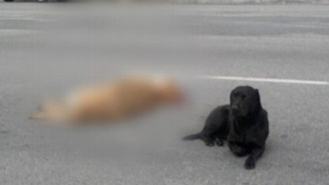 VIDEO: A black lab refuses to leave the side of another dog hit by a car.