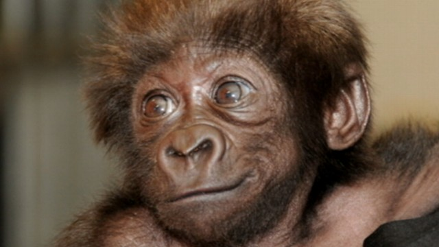 VIDEO: After being rejected by their mother, primate experts will teach the babies how to be gorillas.