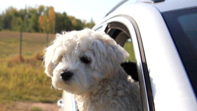 VIDEO: Drivers who like to keep pets unrestrained in the car pose hazard on the road.