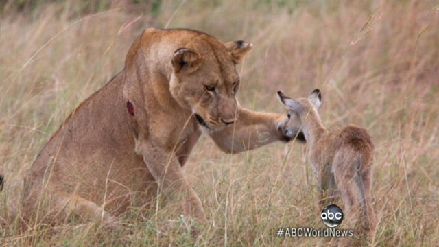 VIDEO: VIDEO: Lioness encounter with an antelope calf has a happy ending.